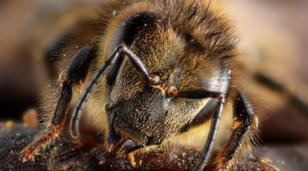Insecticide 'Unacceptable' Danger To Bees