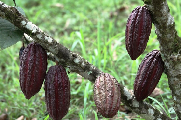 Chocolate: A Cure For The Common Cough?