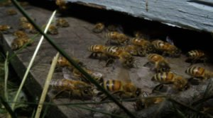 High-Fructose Corn Syrup Linked To Bee Colony Collapse