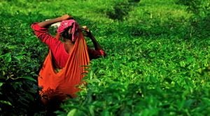 Teatulia: How Organic Tea Transformed A Bangladesh Community