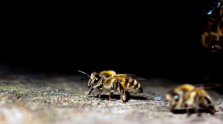 Radar Antennae Reveal How Disease And Pesticides Are Harming Bees Navigation
