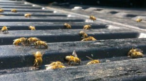 Sudden Death Of Guelph-Area Bees Raises New Questions