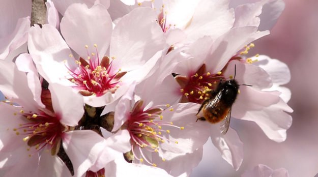 How California Almonds Are Killing Bees