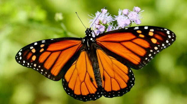 How You Can Help Bring Monarch Butterflies (And Honey Bees) Back From The Brink Of Extinction