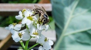 Will Cal DPR Delays Spell Honey Bee Death Sentence?