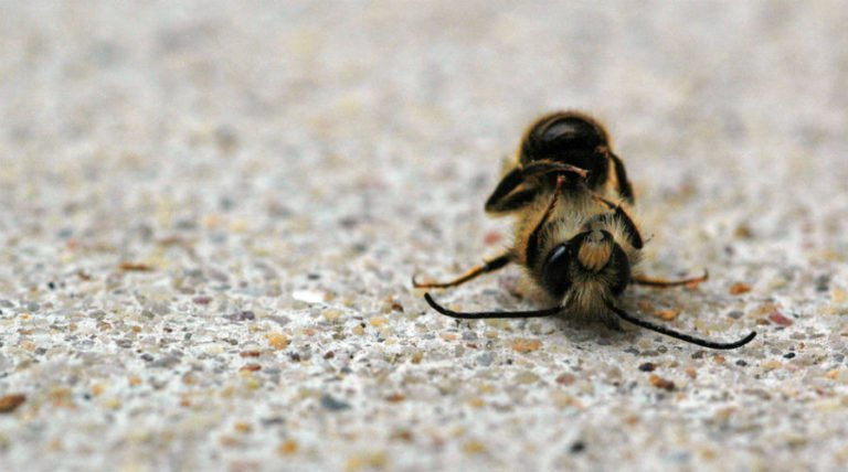 Neonics Not Gmos Continue To Kill Millions Of Bees