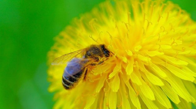 White House Plan to Protect Bees Aims High. But Does It Fall Short?