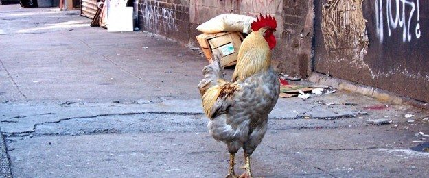 Avian Flu, The Price of Eggs, And Raising Your Own Hens