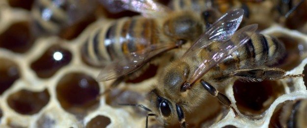 Bee-killing Insecticides Harming People in Japan