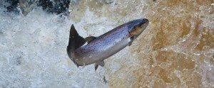 Beware Your Atlantic Salmon May Soon Be Genetically Modified