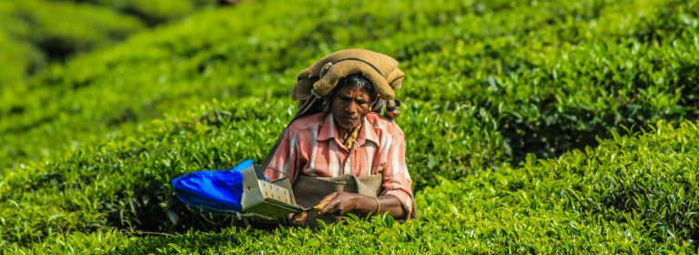Transforming The Tea Industry: From Plantations To A Small Farmer Model