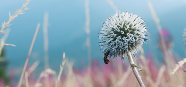 Teasel Root: An Amazing Herb to Heal